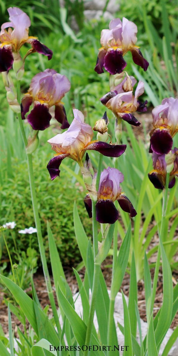 Gorgeous mult-coloured irises | Gallery of gorgeous irises to add bling to your garden
