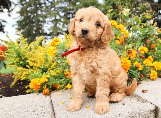 Macy Mini Goldendoodle Puppy For Sale In Elizabethville Pa
