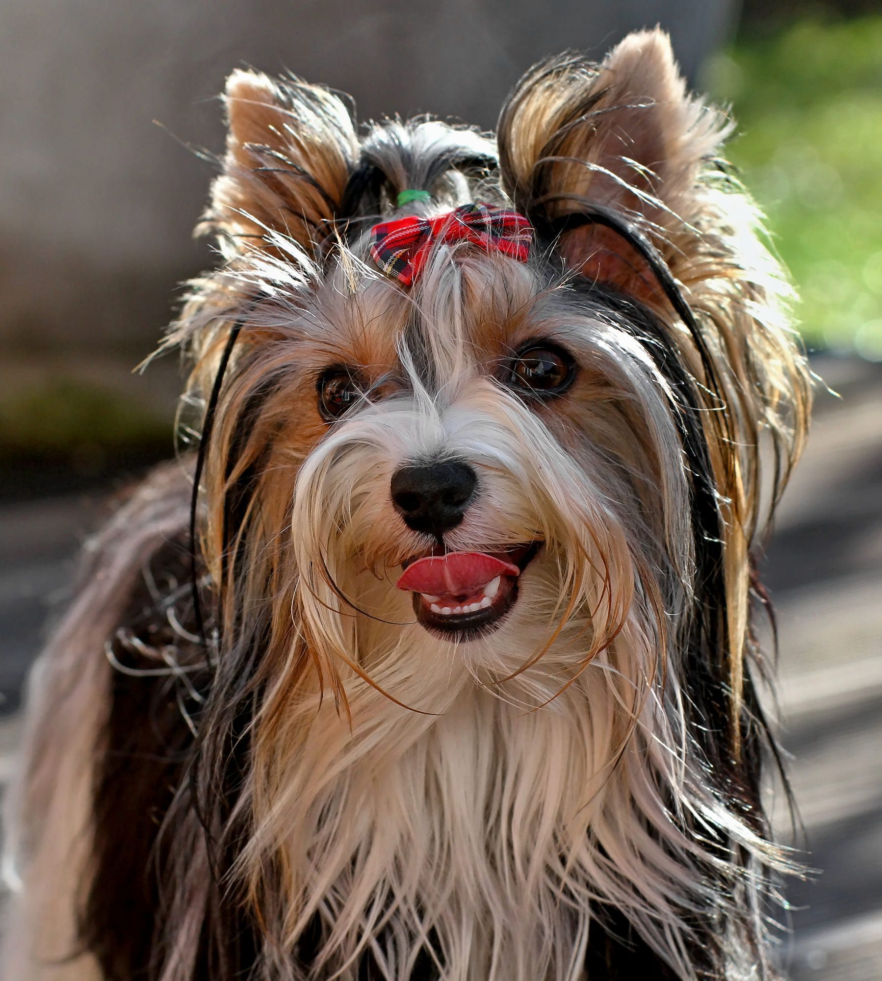 Biewer Yorkshire Terrier Lady Piper By Friedhelm Bauer Yorkshireterrier Caes Yorshire Terrier Animais