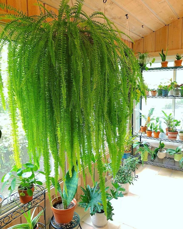 indoor boston fern care