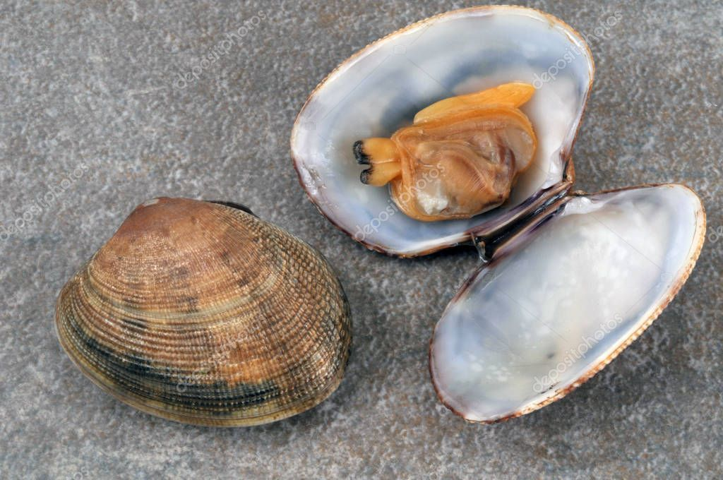 Fresh Clams Closeup One Open Stock Photo Affiliate Closeup Clams Fresh Photo Ad