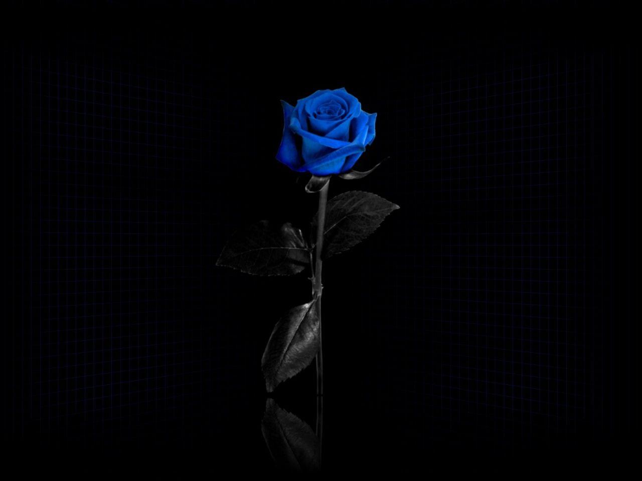 blumenbilder rose hintergrundbilder netto vektor blaue hintergr nde reflektieren material. Black Bedroom Furniture Sets. Home Design Ideas