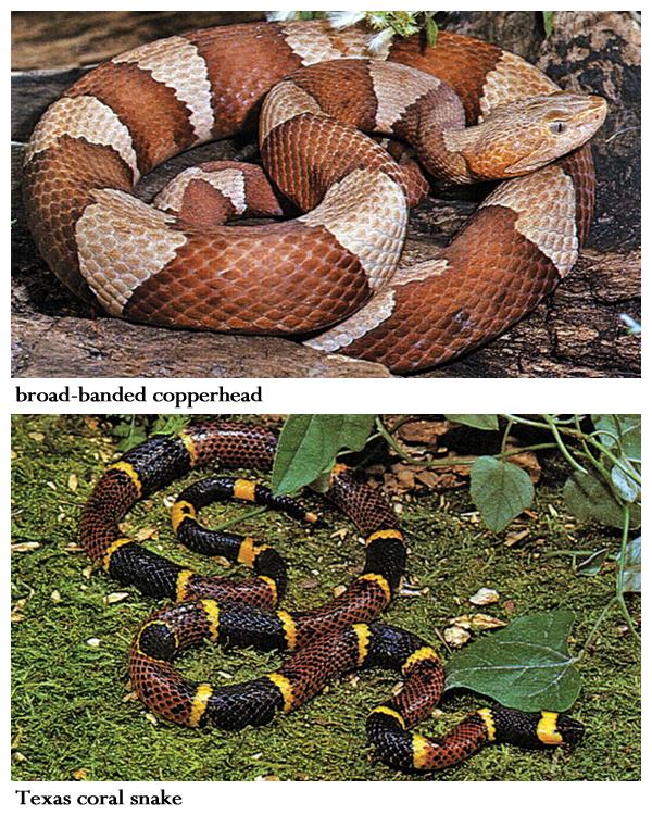 Learn To Recognize Venomous Snakes Snake Venom Snake Poisonous Snakes