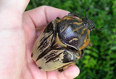 Escarabajo Goliat: el insecto más voluminoso del Mundo.