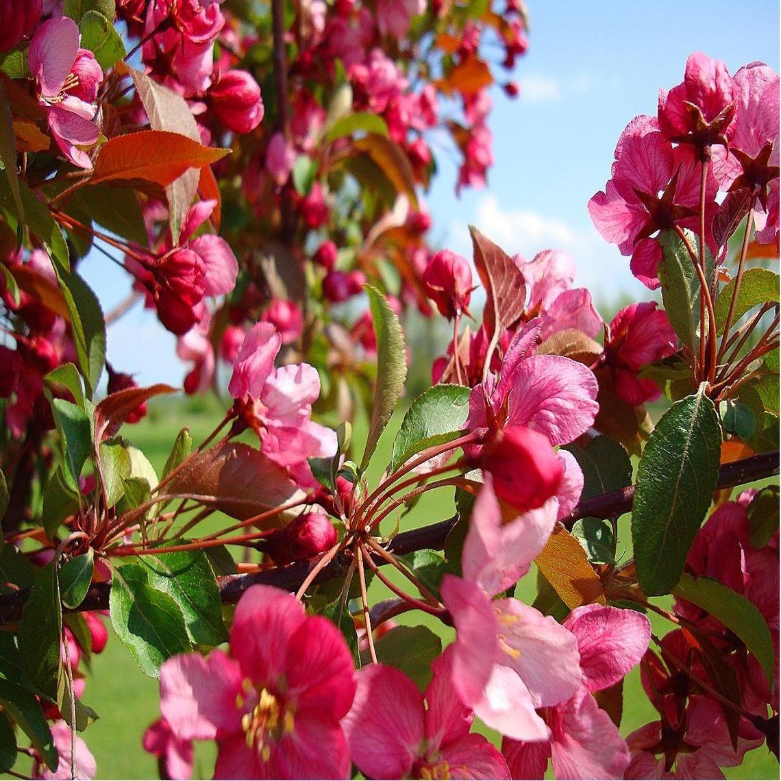 FloweringCrabTree