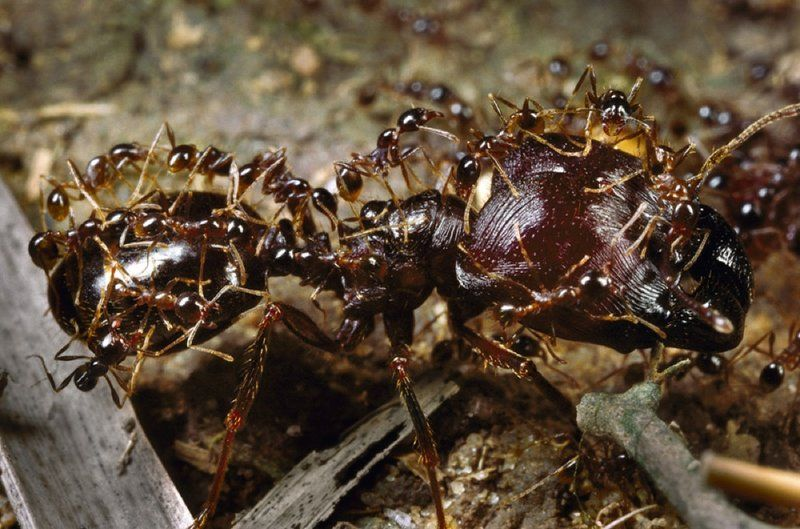 Marauder ants have a special class of big ants that they