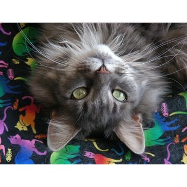 Maine Coon from <a href='http://www.catchannel.com/local/MN/Lakeland/club-members.aspx' title='Lakeland, MN'>Lakeland, MN</a>