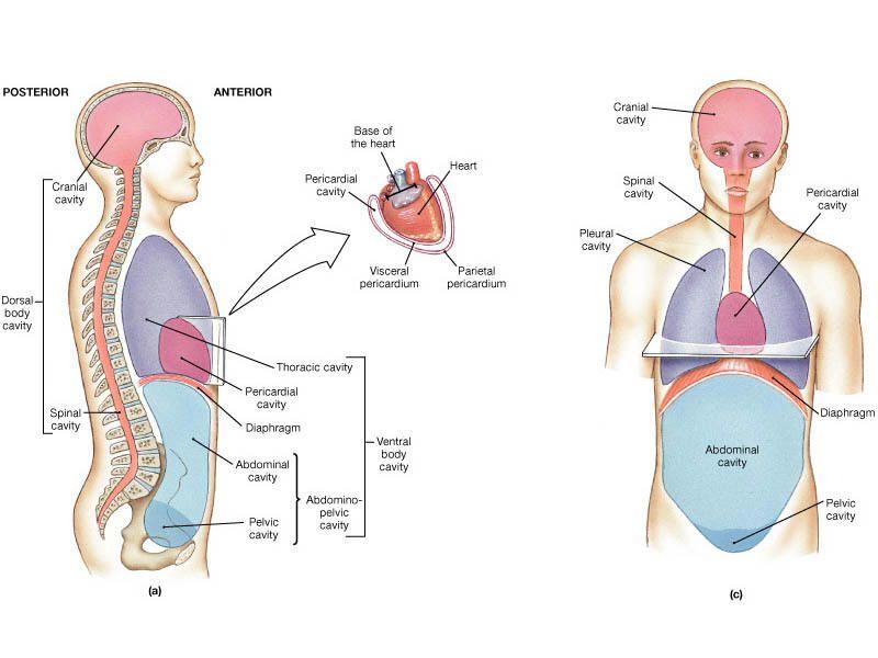 Cavity organs in the human body - www.anatomynote.com | Anatomy note ...