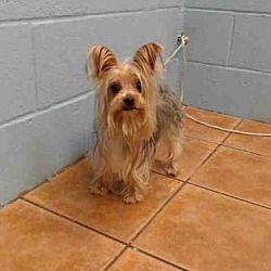 Downey, California Yorkie, Yorkshire Terrier. Meet STACY
