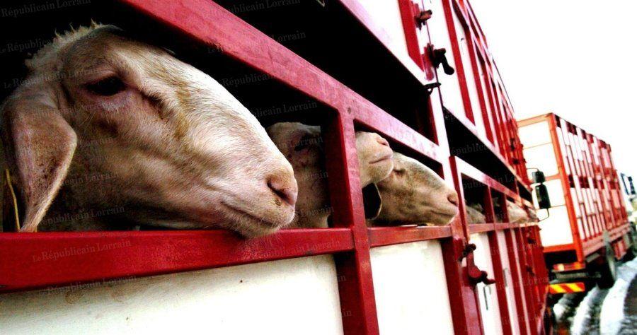 Pour les usagers du Nord lorrain, la fermeture de la chaîne d'abattage des agneaux à Metz se traduit par l'obligation de parcourir  des dizaines de kilomètres supplémentaires chaque semaine, au risque de mettre leur diversification en péril.  Photo MAXPPP