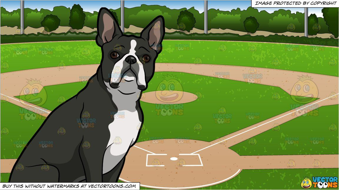 A Curious Boston Terrier Pet Dog and Baseball Diamond