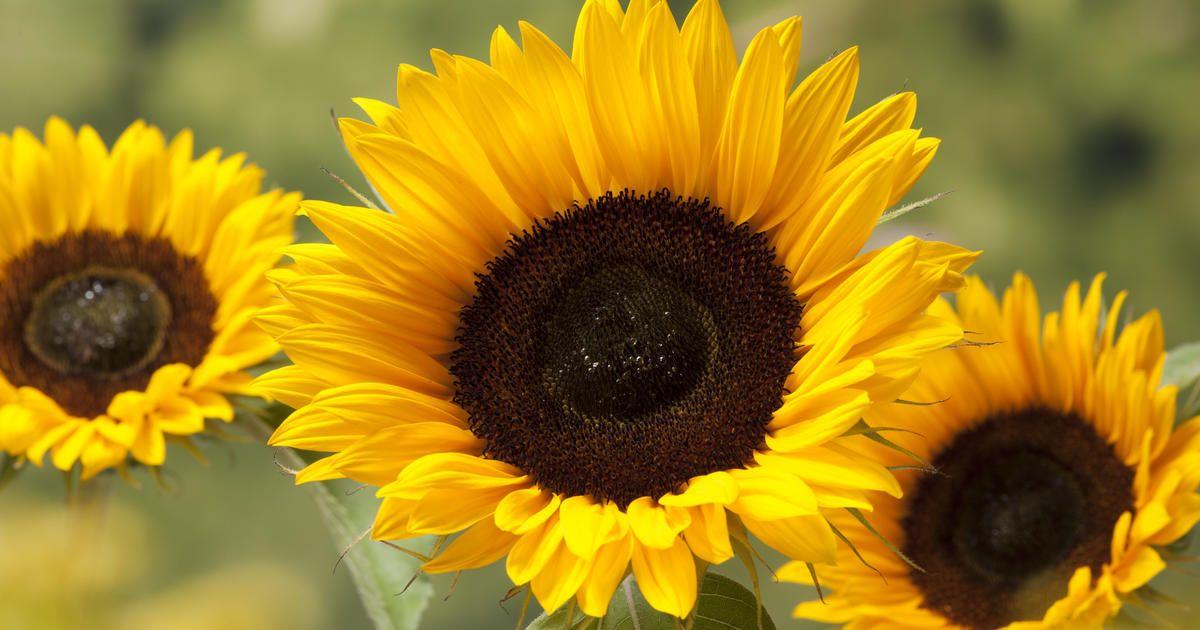 gew hnliche sonnenblume pflanzen pflegen tipps sonnenblumen die sonne und strahlen. Black Bedroom Furniture Sets. Home Design Ideas