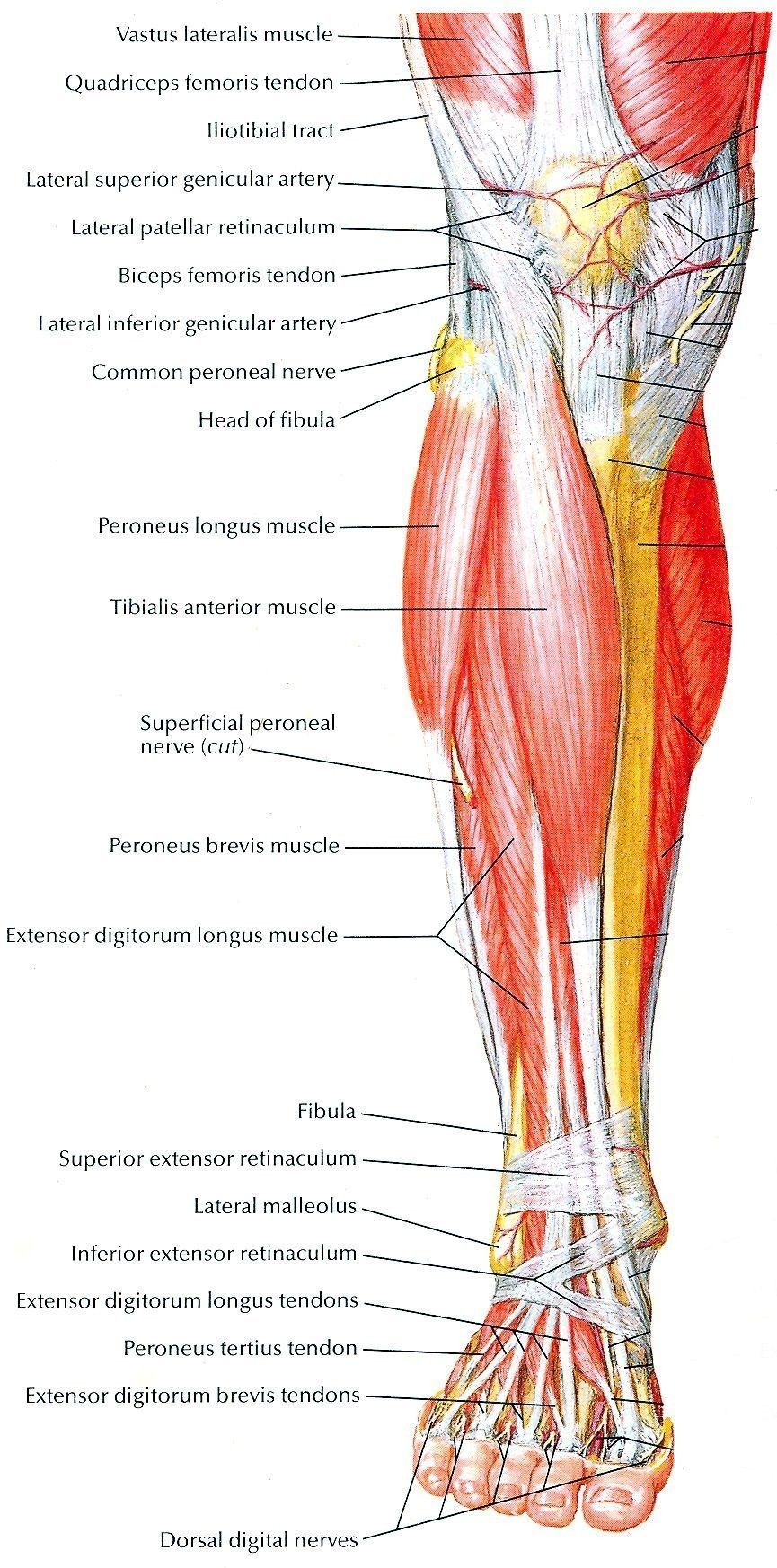 MuscleAnatomy Visual muscular locations allows massage therapist and ...