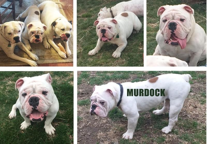 Meet Murdock A Petfinder Adoptable English Bulldog Dog Newtown