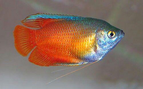 Flame Red Dwarf Gourami Freshwater Fish Aquarium Fish Tropical Freshwater Fish