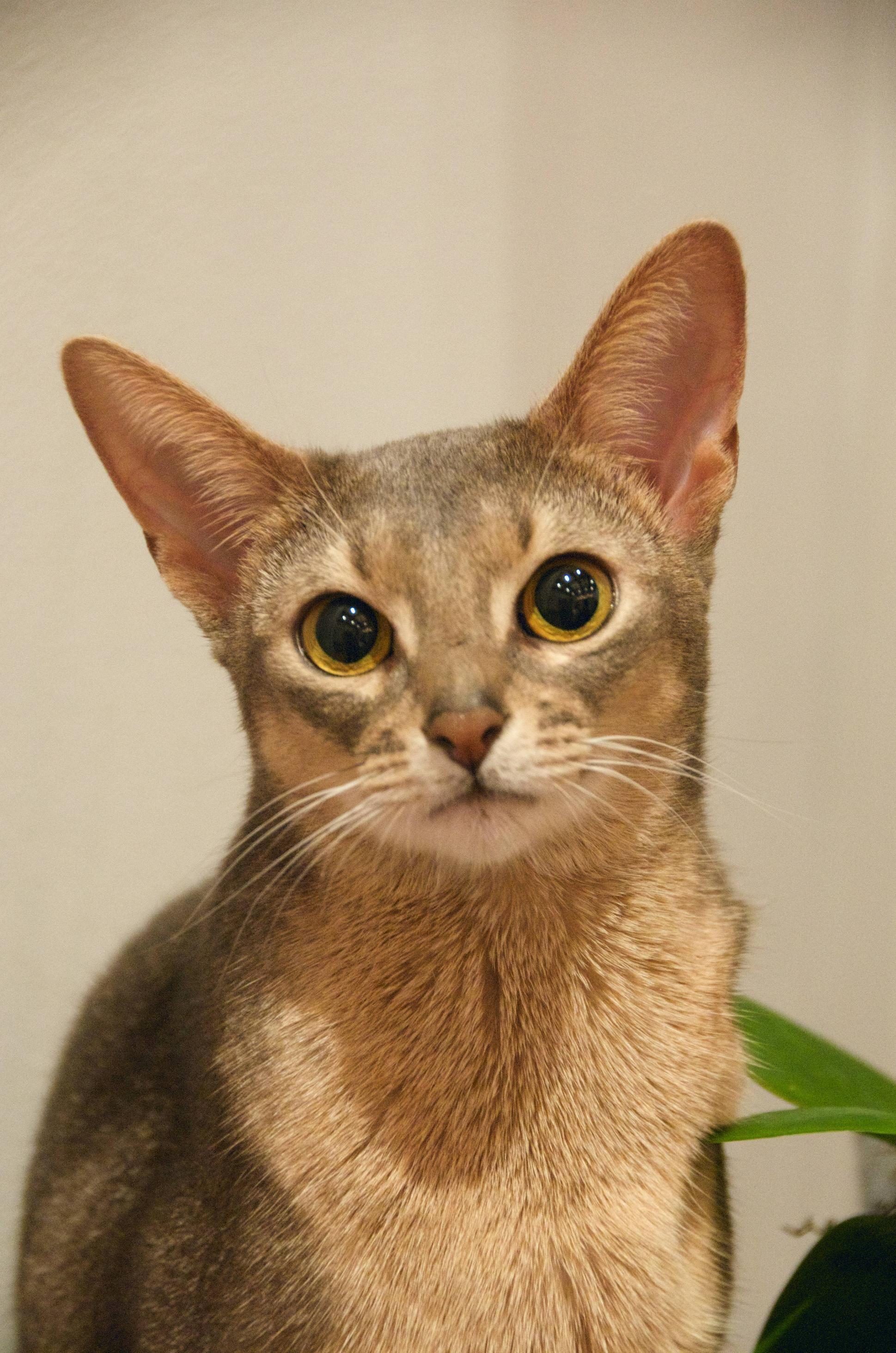 Pin on Felinity Abyssinians & Wild Cats