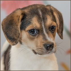 Adopt Samantha On Beagle Dog Adoptable Beagle Dogs