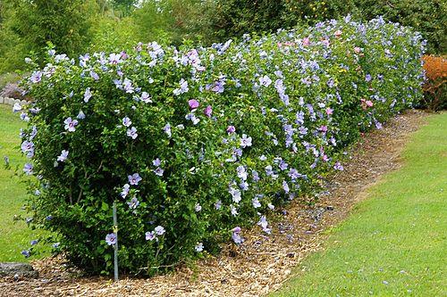Rose Of Sharon Hedge Hedges Landscaping Garden Hedges Rose Of Sharon Bush
