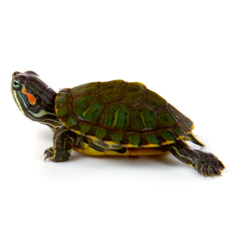 Baby red ear slider turtle and food slider turtle red