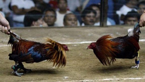 Pin On Tentang Sejarah Sabung Ayam