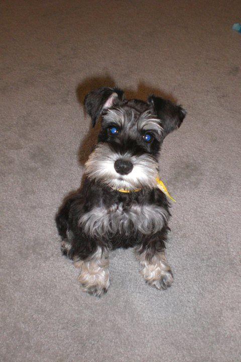 Betsy My Schnauzer Mini Schnauzer Schnauzer Puppy Really Cute Puppies