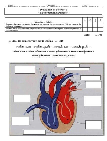 Evaluation Circulation Sanguine CM1-CM2 | Exercice cm2 ...