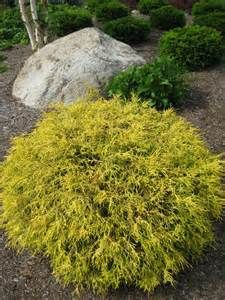 Golden Mop Threadleaf False Cypress Bing Images