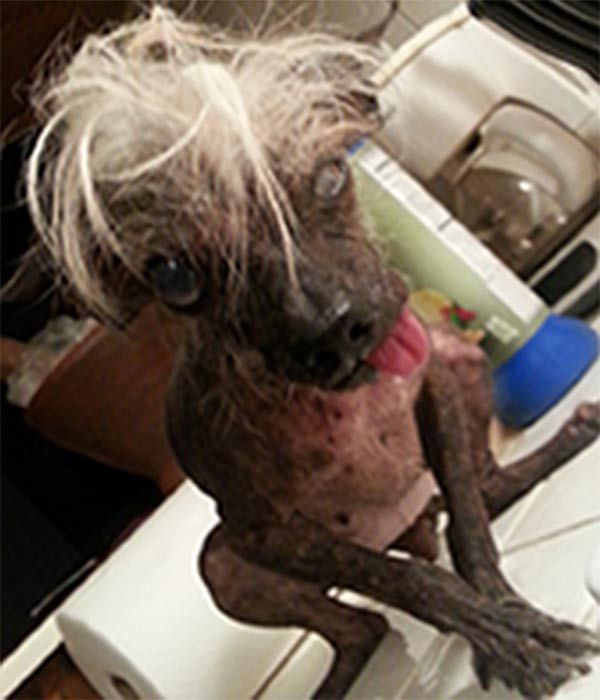Meet the 2014 World's Ugliest Dog contestants | abc13.com I bet this one wins