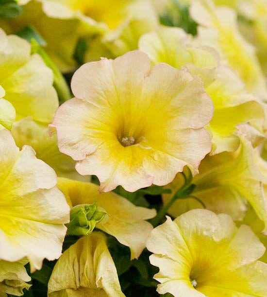 Suncatcher Pink Lemonade Petunia Blommor Tradgard