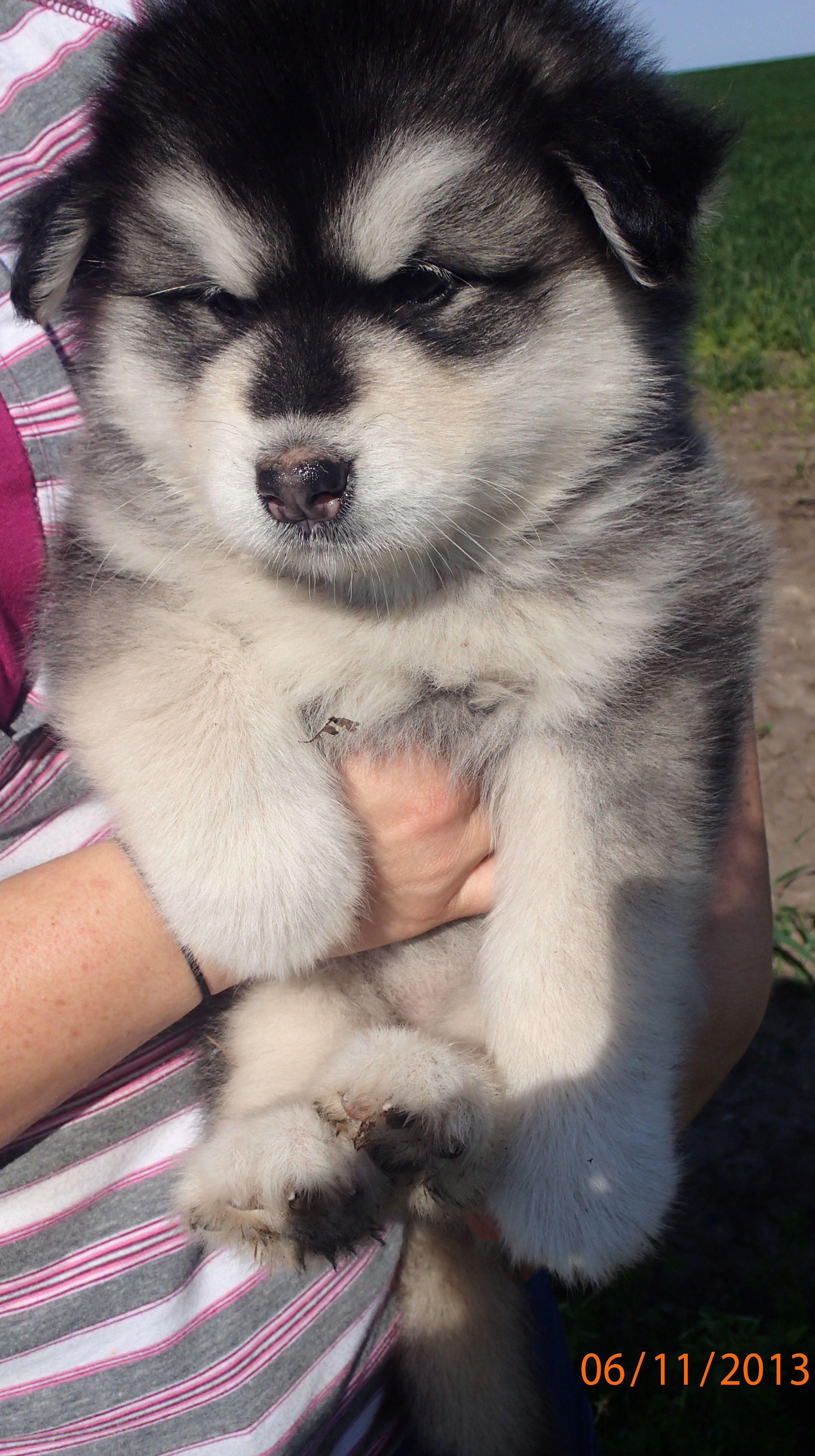 Meier Malamutes Www Facebook Com Meiermalamutes Alaska Dog Wolf Dog Malamute Puppies