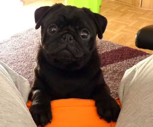 Black Pug Puppies Pure Black Pug Puppies Dubai City Pets For