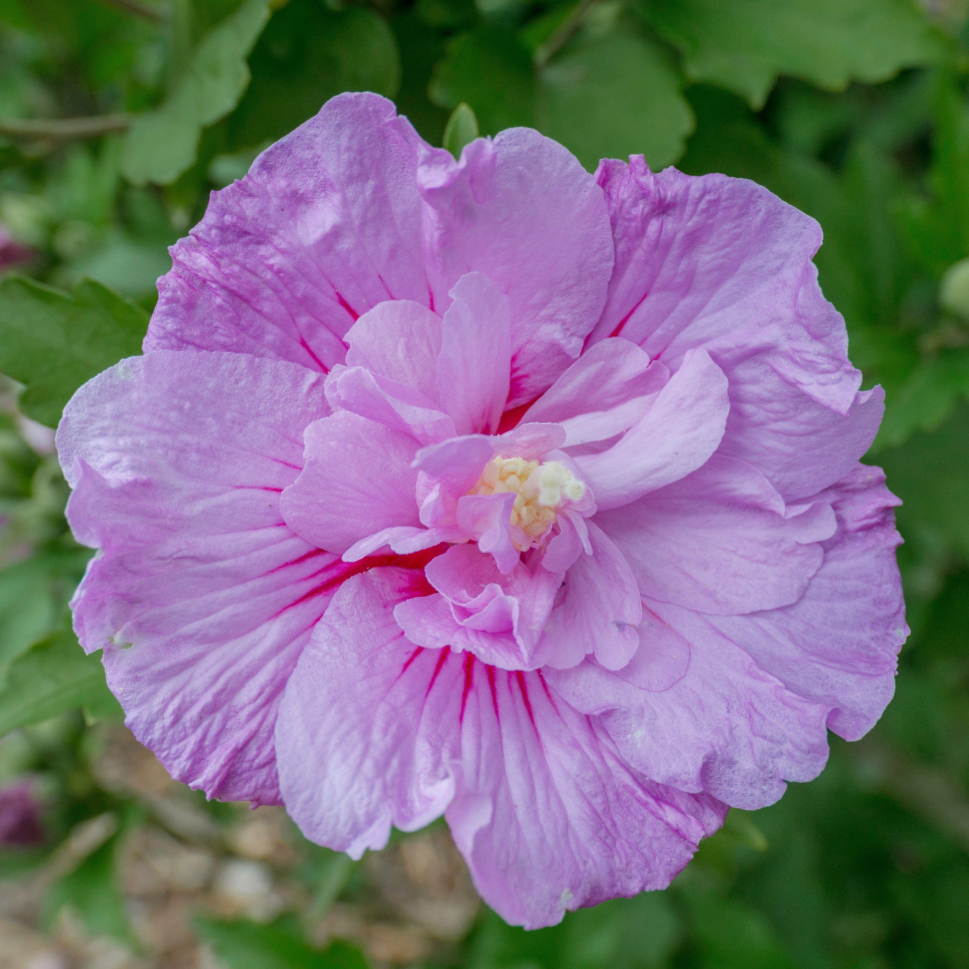 Hibiscus syriacus lavender chiffon rhs hibiscus pinterest hibiscus syriacus lavender chiffon rhs izmirmasajfo