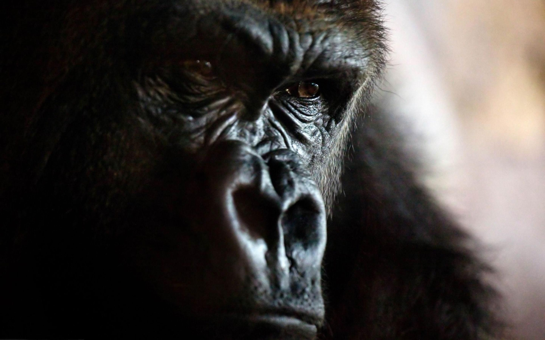 Angry Gorilla Hd Wallpapers Hd Wallpapers Gorilla Wallpaper Gorilla Animals