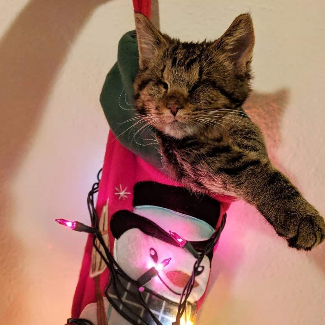 My Friend Adopted A Blind Kitten That Loves To Be Put In Their Christmas Stockings Https Ift Tt 2rjtxe1 Kitten Adoption My Friend