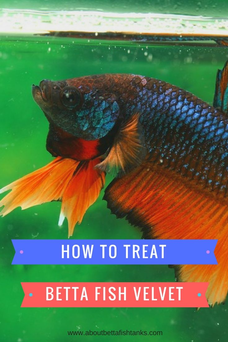 Important Information about Betta Fish Velvet! AboutBettaFishTanks ...