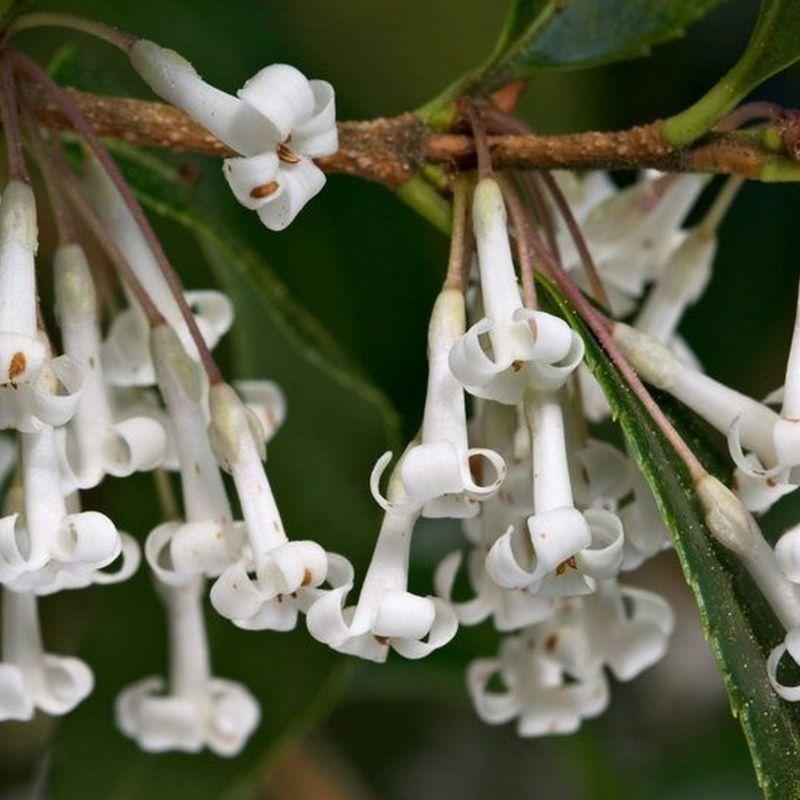 osmanthus suavis persistant hauteur