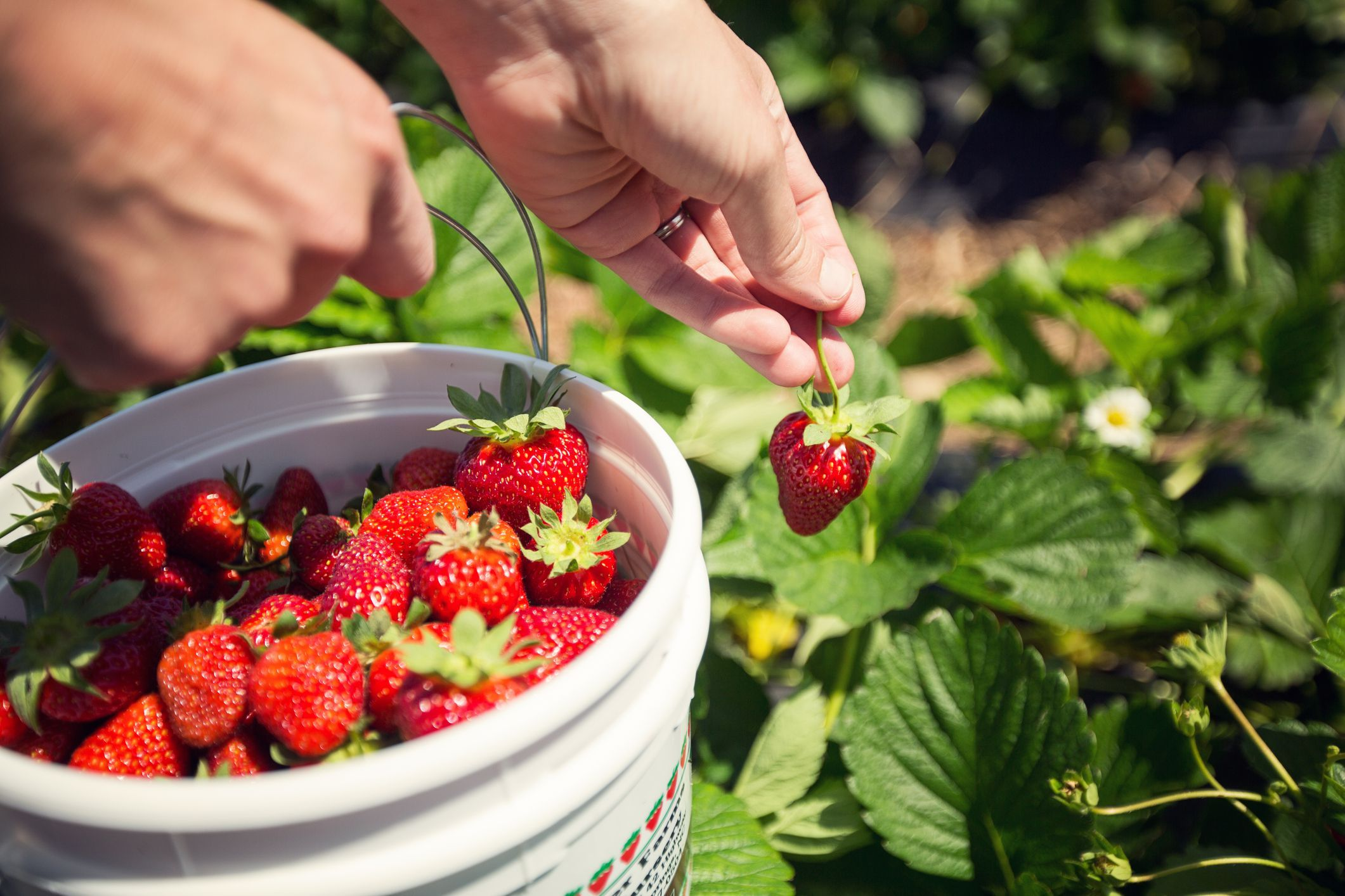 Picking Strawberries In New England Is A Berry Fun Thing To Do Strawberry Fruit Growing Strawberries