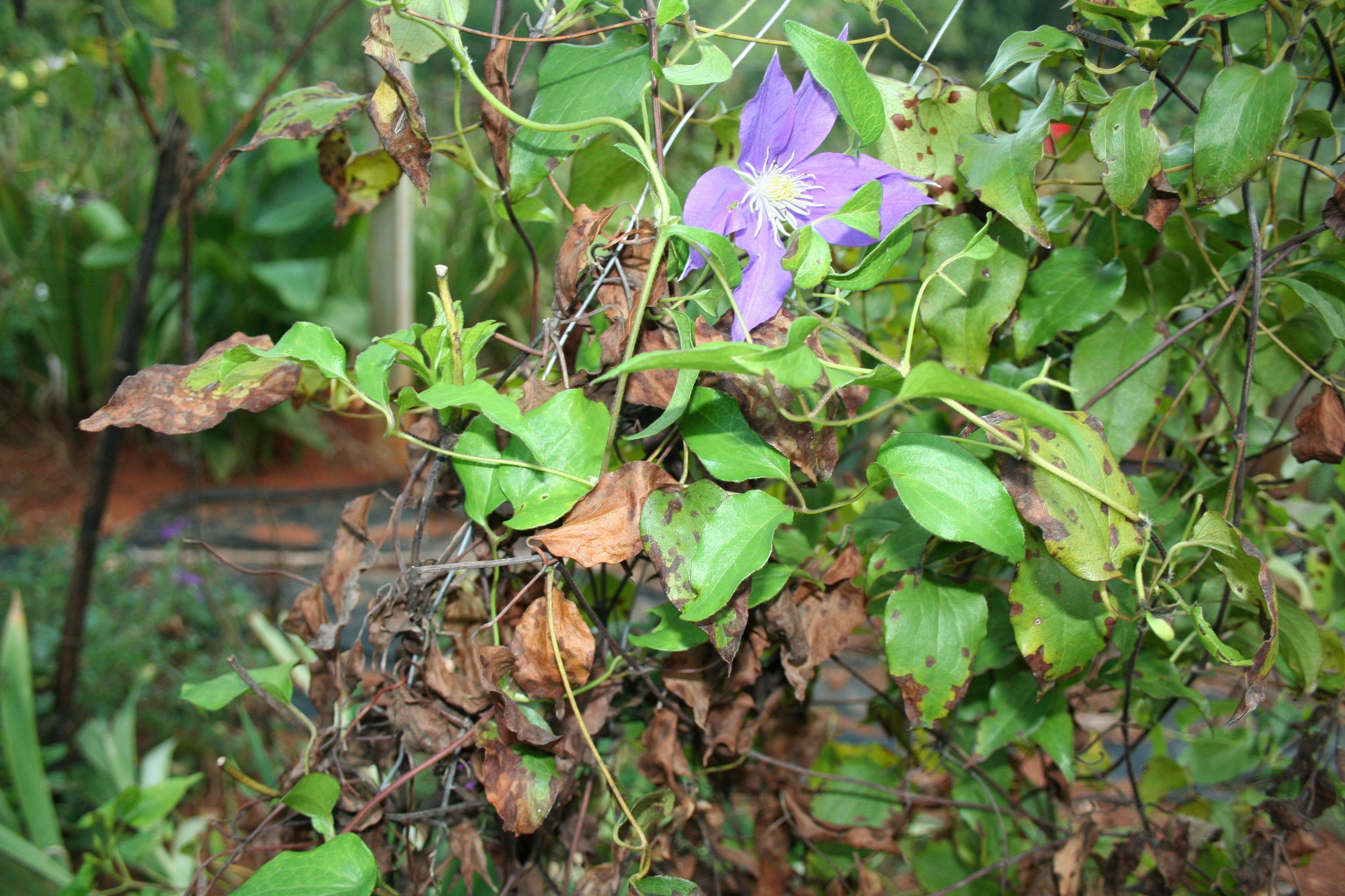 Wilt Treatment – How To Prevent Wilt In Clematis Vines Clematis wilt is a devastating condition that causes clematis vines to shrivel and die, usually in early summer. Read here to learn more about the causes of clematis wilt and how to prevent it.Clematis wilt is a devastating condition that causes clematis vines to shrivel and die, usually in early su...