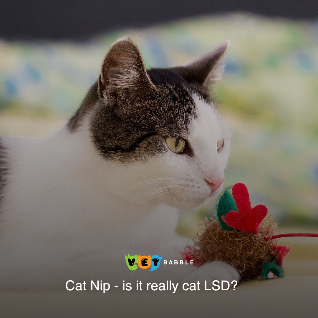 Catnip Plant Effects On Cats Is It Safe Vetbabble Cat Behavior Cats Mean Cat