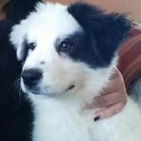 Adopt Tammy On Petfinder Dog Mixes St Bernard Dogs Bernard Dog