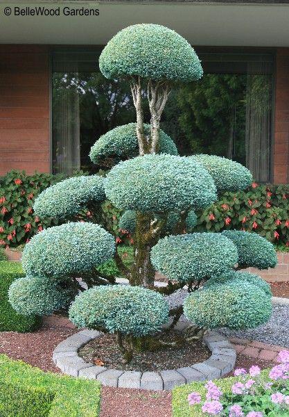 BelleWood-Gardens - Diary | Conifers | Garden, Topiary ...