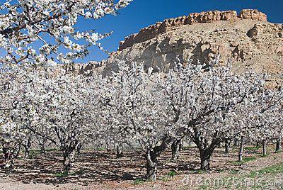 Cherry Blossoms Near Palisade Colorado Grand Valley Palisade Colorado Cherry Blossom