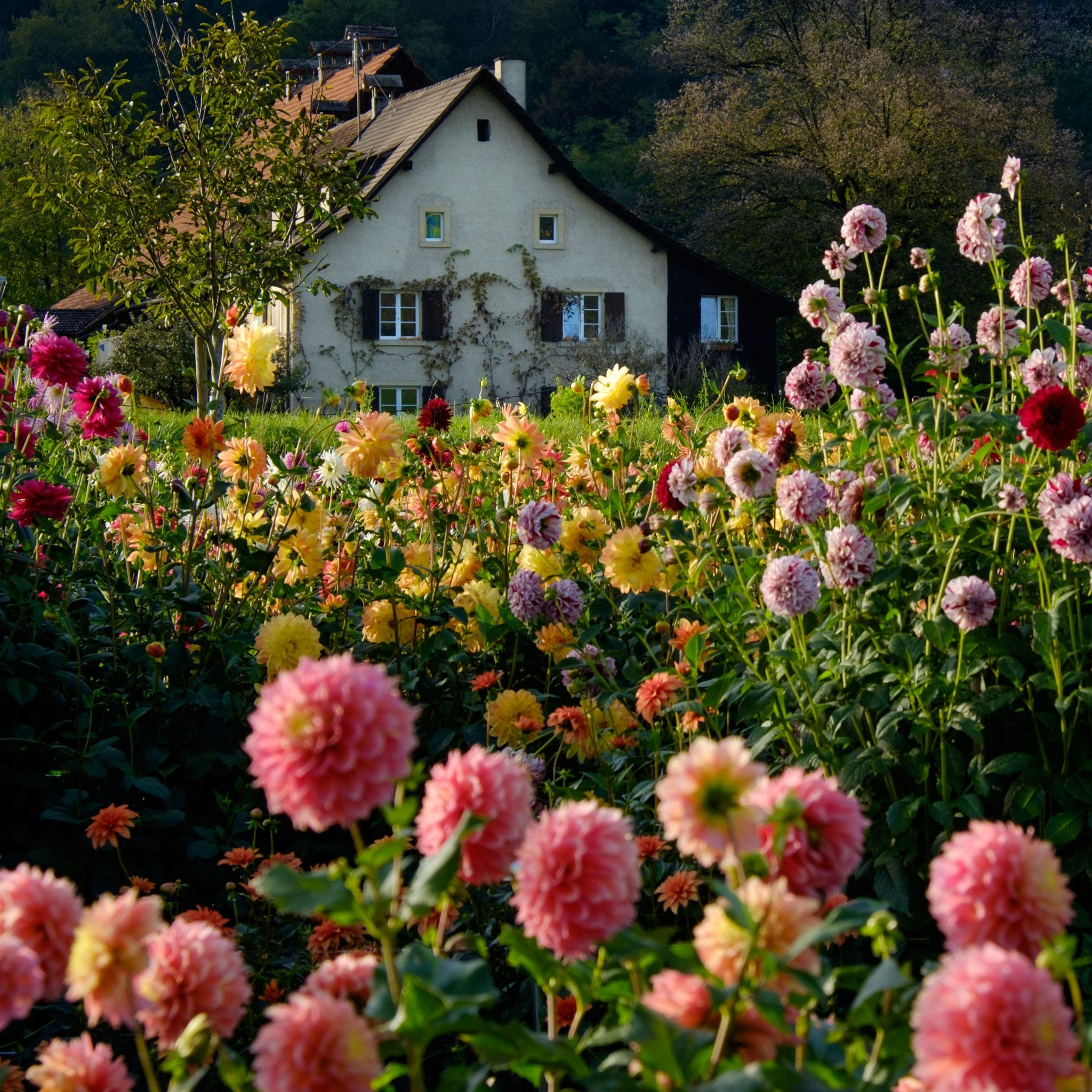 Swiss farmhouse, garden of Dahlias - Flower garden of dahlias. Swiss Farmhouse; Baselland, Switzerland.