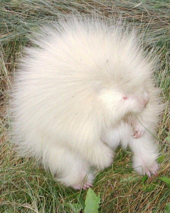 Albino porcupine.  Thought you might enjoy picture of this cute little guy. #albinoanimals