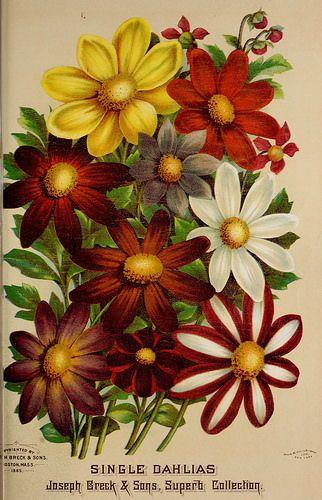 Dahlias Single Flowered Joseph Breck And Sons 1886 Flower Seeds Packets Flower Seeds Single Flower