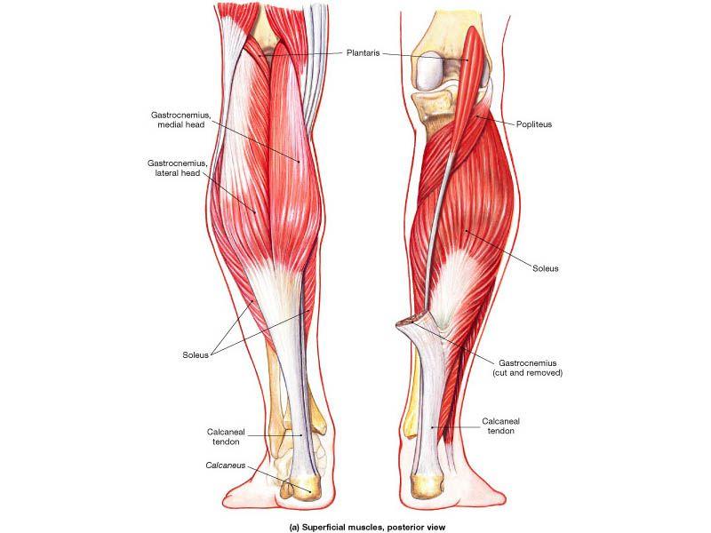 lower leg muscle anatomy diagram   PT diagrams   Pinterest   Lower ...