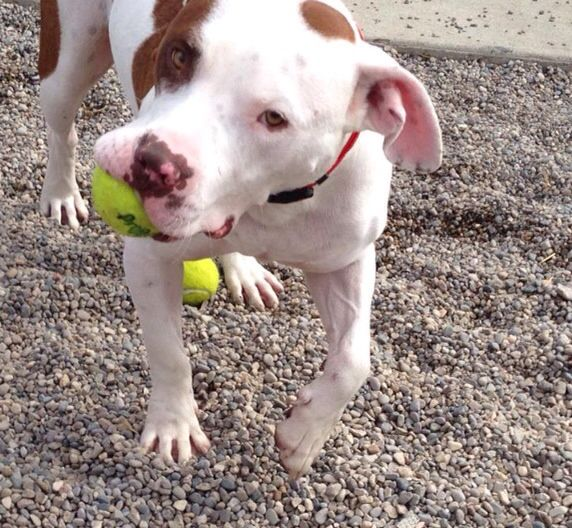 RENO. DDR Adoptable Dog. (With Images)