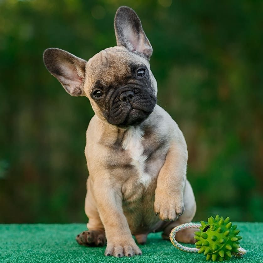 5 Dog Food Brands To Avoid With Images French Bulldog Bulldog French Dogs