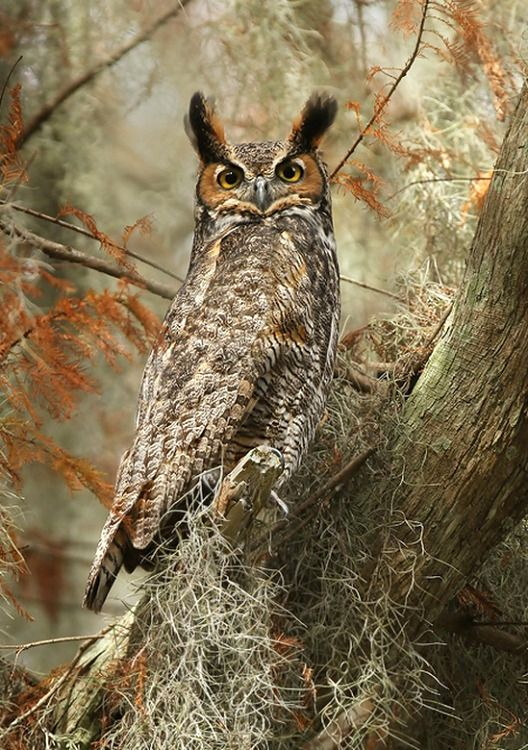 Great Horned Owl (Bubo virginianus). A very large American owl. photo: Matthew Studebaker.   <3