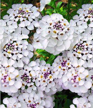 Winterharter Bodendecker Iberis Schleifenblume Masterpiece 3 Pfl Bodendecker Pflanzen Garten Pflanzen